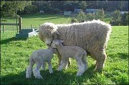 Sheep ewe and lambs